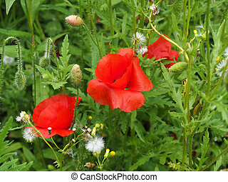 bright red common corn flowers with buds in a summer meadow background