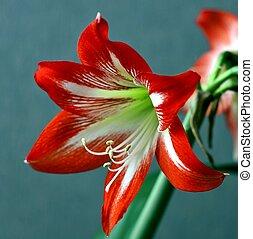 bright red flower Amaryllis, macro, narrow focus area, ...
