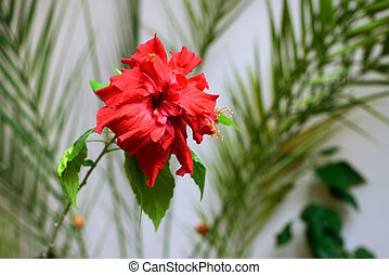 Bright red flower of hibiscus terry, background.