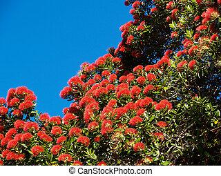 Bright red flowers of the New Zealand Pohutukawa tree.