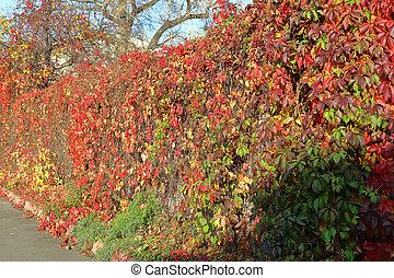 Bright red foliage of wild grape