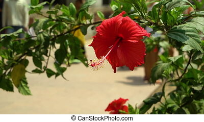 Bright red hibiscus plant in the daylight. - Visitors walk...