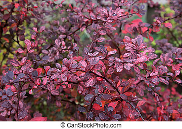 The bright leaves of a Red Japanese Barberry shrub. (Berberis thunbergii f. atropurpurea) Shot in the fall after rain.
