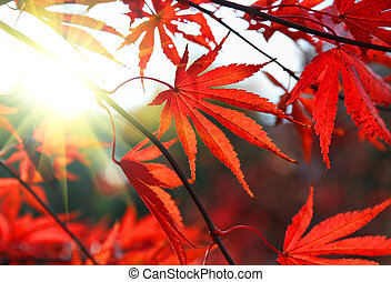 Bright red Japanese maple or Acer palmatum leaves and sunlight