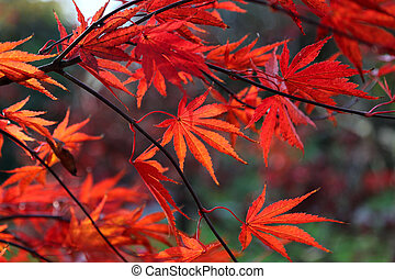 Bright red Japanese maple or Acer palmatum leaves