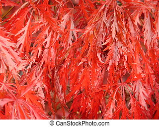Bright Red Laceleaf Maple