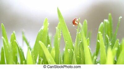 Bright red ladybug crawling around blades of grass