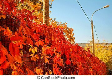 bright red leaves of the hedge in autumn