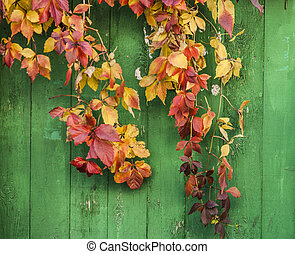 bright red leaves of wild grapes (ivy) on rustic wooden background. autumn season.