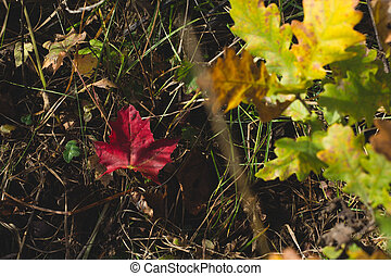 bright red maple leaf  fallen on the ground. autumn background of forest