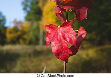 bright red maple leaves close up on background of the autumn forest