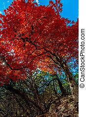 Bright Red Maple Tree