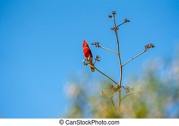 Bright Red Northern Cardinal perched on an Agave Branch in the Sonoran Desert