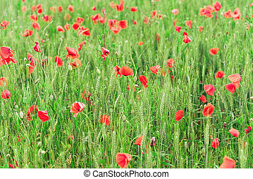 Bright red poppies growing in unripe green wheat field, abstract spring poppy background