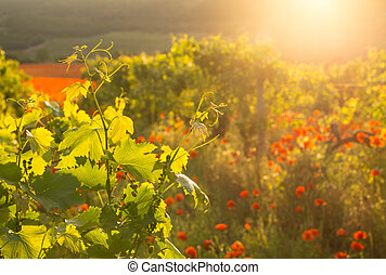Bright red poppies in a vineyard.