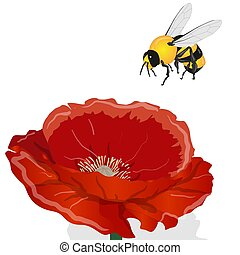 Bright red poppy flower and bee isolated on white. Vector illustration...