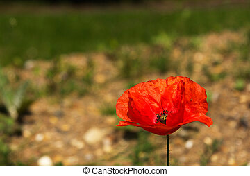 Bright red poppy with a blurred background