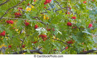 Bright Red Rowan berries swaying wind - Red bunches of rowan...