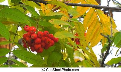 Bright Red Rowan berries swaying wind. Selective focus