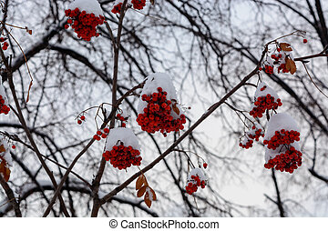 bright red Rowan berries under the snow