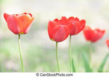 Bright red tulip flower blurred in background.
