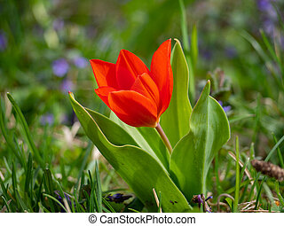 Bright red tulip in the garden
