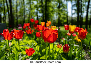 bright red tulips blooming in the garden
