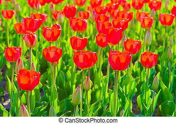 bright red tulips on a sunny spring day