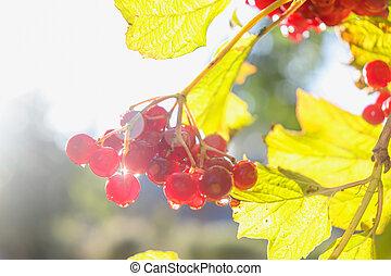 Bright red viburnum berries in the sun.