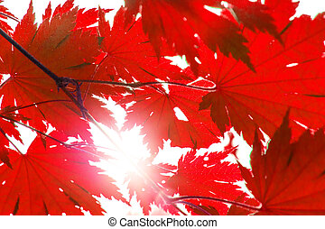 bright red wedge leaves in the sunshine,