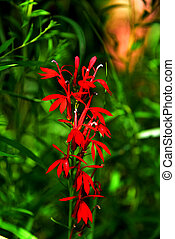 Bright Red Wild Lobelia