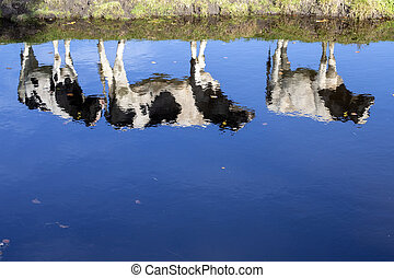 Bright reflection in water of three young cows standing at the bank of a pond.