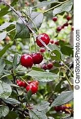ripe cherries with drops of rain