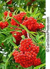 Bright rowan berries - Close up bright rowan berries on a ...