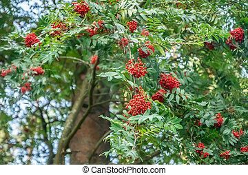 Bright rowan berries on a tree at autumn