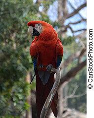 Bright Scarlet Macaw Bird on a Tree Branch