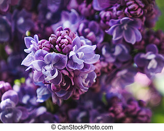 Bright spring flower background. Flowering branch of lilac in the spring garden, close up, soft focus