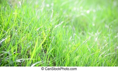bright spring grass in  wind