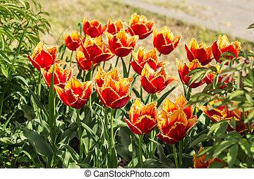 bright spring tulips