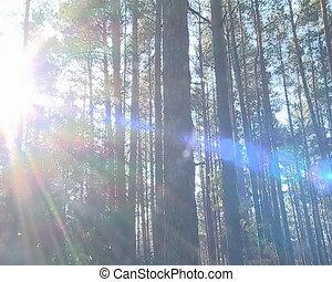 Bright sun beams light through dense coniferous forest trunks.