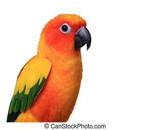 Bright Sun Conure Parrot on White Background Side View
