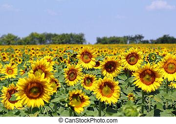 bright sunflower field summer landscape