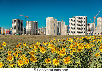 Bright sunflowers and a new high-rise building on blue sky background Sunny day