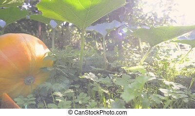 bright sunlit pumpkin - bright sunlit footage of big ripe...