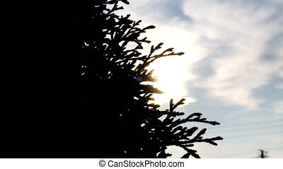 bright warm sun shines skvolz' kolyshhashhiesja silhouette tree leaves in the wind
