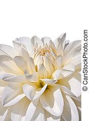 white aster - bright white aster in morning sunlight
