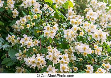 Bright white flowers with raindrops. Philadelphus coronarius, sweet mock-orange, English dogwood