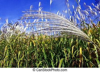 Bright white spikelets at the blue sky background