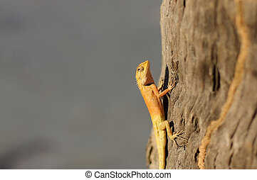 a bight yellow asia garden lizard Calotes versicolour Crested Tree Lizard with blue background on a tree in with plam leave, close-up shooting n Thailand