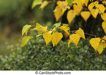 bright yellow autumn leaves